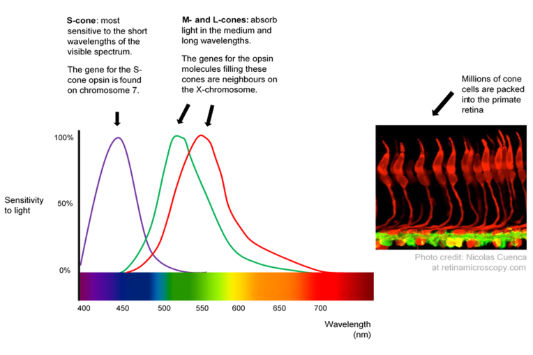The Mystery Of Tetrachromacy If 12 Of Women Have Four Cone Types