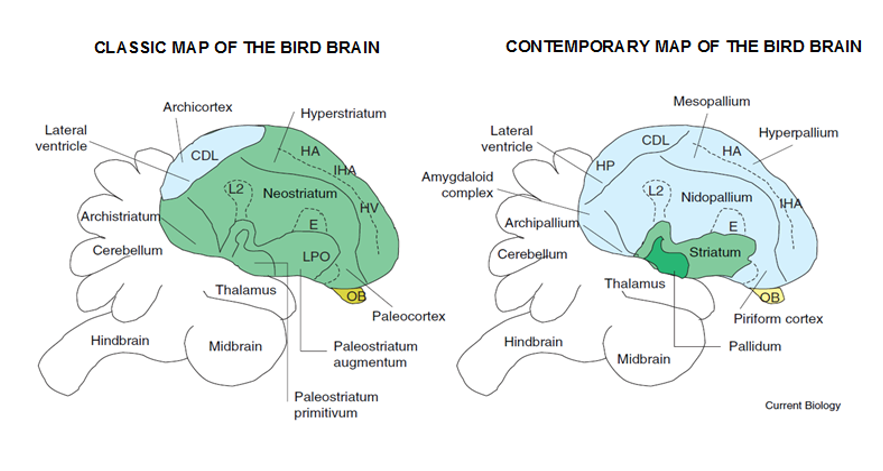 Diagram Of A Birds Brain - Wiring Circuit •