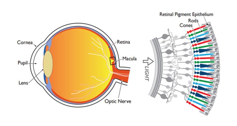 Retina1.png